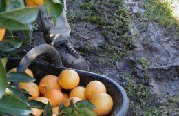 En este evento se destacan las cualidades de esta fruta característica de la zona.